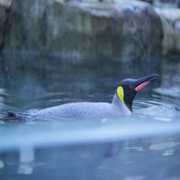 Anton der Pinguin
